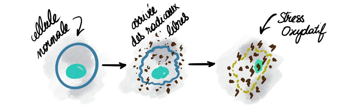 schémas stress oxydatif et actions des radicaux libres
